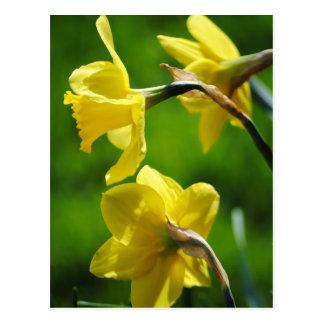 Carte postale jaune de jonquilles