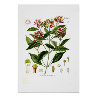 Caryophyllus aromaticus (Clove) Poster