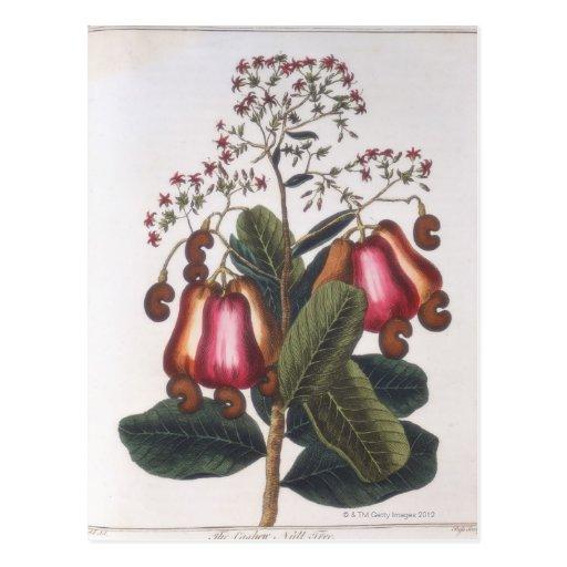Cashew nut postcard