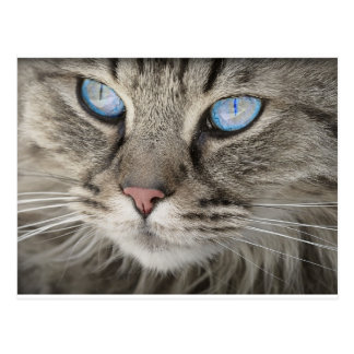 Cat Animal Cat Portrait Cat's Eyes Tiger Cat Postcard