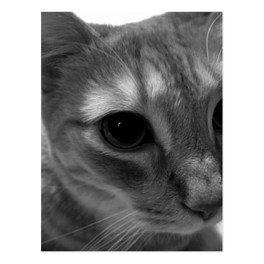 Cat Face Closeup Postcards