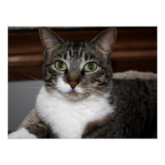Cat Looking at You/Pet Tabby Cat Face Photo v2 Poster