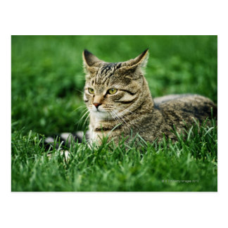 Cat lying in grass postcard