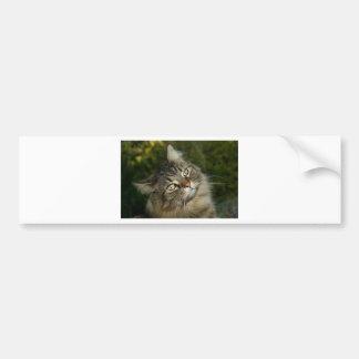 Cat Norwegian Forest Cat Sweet Domestic Cat Curiou Bumper Sticker