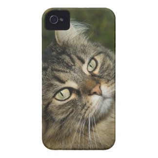 Cat Norwegian Forest Cat Sweet Domestic Cat Curiou iPhone 4 Case