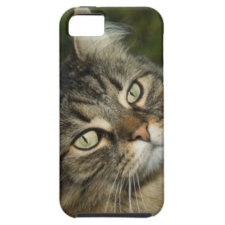 Cat Norwegian Forest Cat Sweet Domestic Cat Curiou iPhone 5 Case