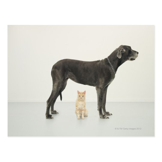 Cat sitting beneath Great Dane Postcard