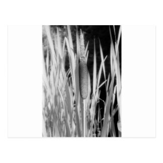 Cat Tail in black and white Postcard