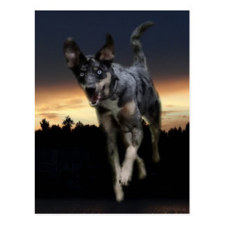 Catahoula Leopard Dog Running on Sunset Postcard
