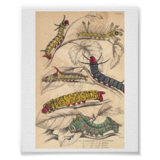 Caterpillars Poster