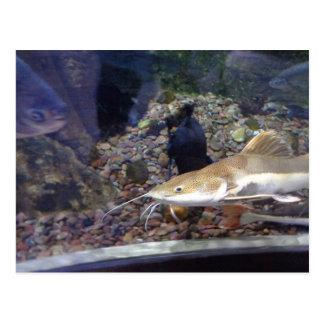 catfish in aquarium postcard