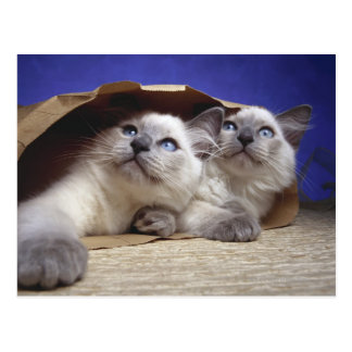 Cats in paper bag postcard