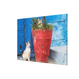 Cats playing around, Rabat, Morocco Canvas Print