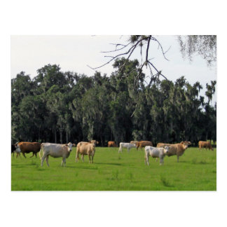 Cattle and Cypress Postcard