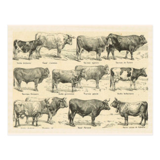 Cattle Breeds, France, Various breeds 3 Postcard