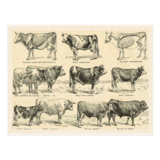 Cattle Breeds, France, Various breeds 4 Postcard