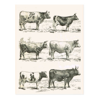 Cattle Breeds, France, Various breeds Postcard