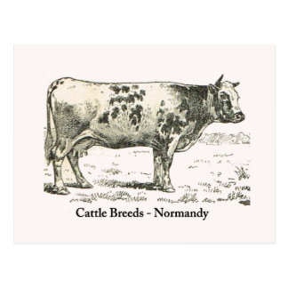 Cattle Breeds, Normandy, 1900 Postcard