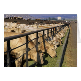 Cattle eat at a feedlot in Grandview, Idaho. Card