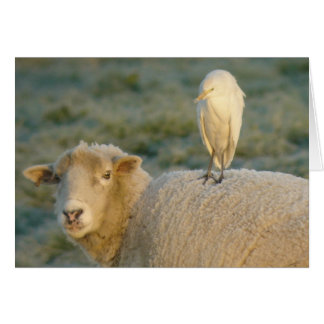 Cattle Egret on Sheep Card