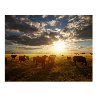 Cattle In Field, Sunset Postcard