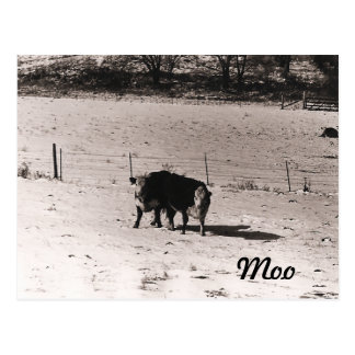 Cattle Postcard
