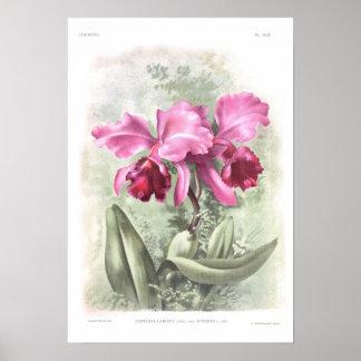 Cattleya labiata poster