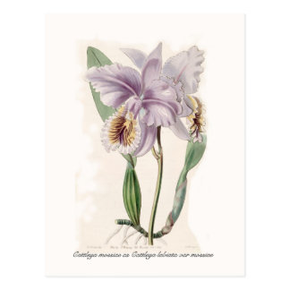 Cattleya mossiae postcard