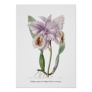 Cattleya mossiae poster