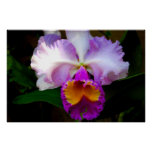 Cattleya Orchid - White/Purple/Yellow Poster