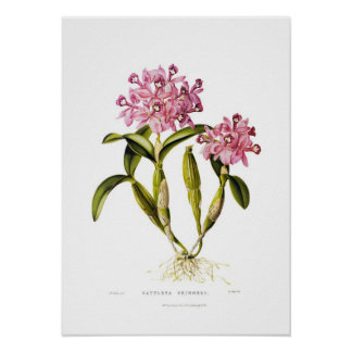Cattleya skinneri by Augusta Innes Withers. Poster