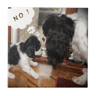Cavalier King Charles Dad Says No Tile