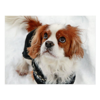 Cavalier King Charles Spaniel Charly Postcard