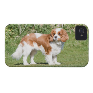 Cavalier King Charles Spaniel dog beautiful photo iPhone 4 Case-Mate Cases