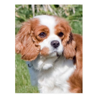 Cavalier King Charles Spaniel dog beautiful photo Postcard