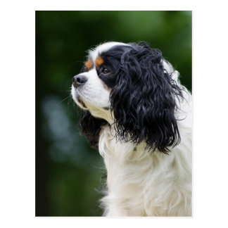 Cavalier King Charles Spaniel dog lovers photo Postcard