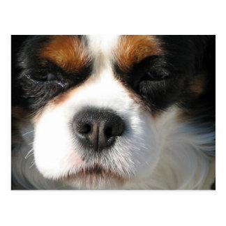 Cavalier King Charles Spaniel Dog Postcard