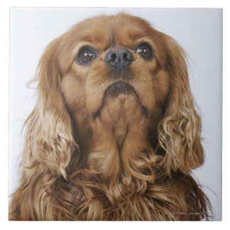 Cavalier King Charles Spaniel looking up Ceramic Tiles