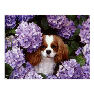 Cavalier King Charles Spaniel Red and White Postcard