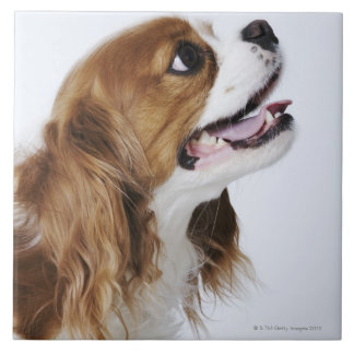 Cavalier King Charles Spaniel, side view Ceramic Tiles
