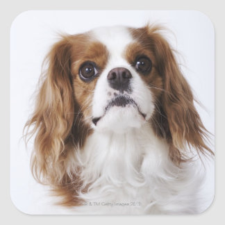 Cavalier King Charles Spaniel sitting in studio Square Sticker