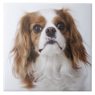 Cavalier King Charles Spaniel sitting in studio Tile