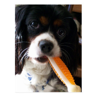 Cavalier King Charles Spaniel with Bone Postcard