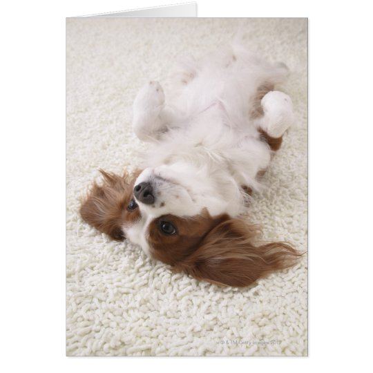 Cavalier showing belly card