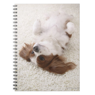 Cavalier showing belly notebook