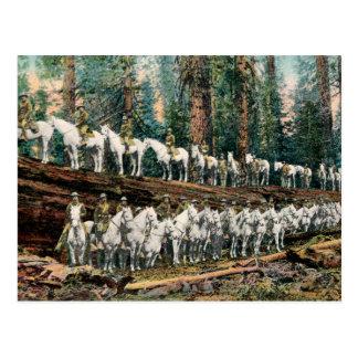Cavalry Troop on Redwood Tree Vintage Postcard