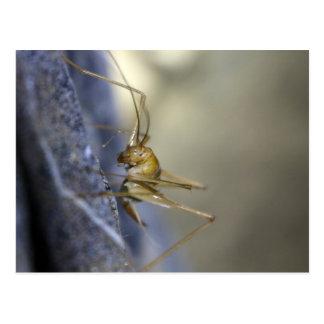 Cave Cricket in Vietnam Postcard