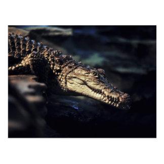 Cayman crocodile postcard