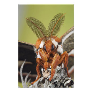 Cecropia Moth, Hyalophora cecropia, adult Photographic Print