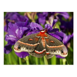 Cecropia Moth in flower garden Postcard